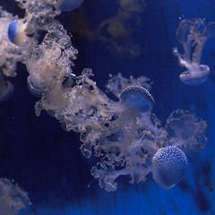 Jellyfish (Kitty Terwolbeck) Tags: blue water animal zoo aquarium jellies blauw jellyfish dier dierentuin kwal medusozoa