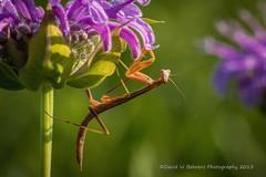 DSC_3659 Copy (David W. Behrens) Tags: morning summer macro closeup mantis nikon purple michigan beebalm prayingmantis monardafistulosa wildbergamot westmichigan 2015 pk13 ottawacounty extentiontubes hudsonville pn11 nikond810