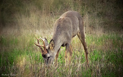 Dulce prado // Sweet Meadow (Cazadora de Fotos) Tags: wild male fauna atardecer sweet eating awesome meadow free deer campo animales prado macho comiendo iberica salvaje asombroso corzo ibericos twiligth