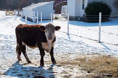 20150131_133643 - 0003 - Cows - [Portfolio Export] (Buckeye Photography) Tags: ohio cow fuji unitedstates fujifilm portfolio vermilion xe2