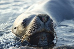 Whiskers (Thom Gibbs) Tags: canon eos rebel islands kiss wildlife whiskers thom sealion kidney falklands gibbs falklandislands t3i x5 falkland islasmalvinas 600d kissx5 thomgibbs