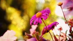 IMG_7905 (vaniaherrerav) Tags: flower nature chile canon powershotsx50hs quilpue canonpowershot