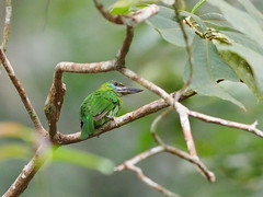 red-throated barbet (female) (juvenile) () Tags: olympus