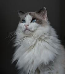 Snow (Rafael Schaidhauer) Tags: nikkonflickraward greatphotographers cats gsto ragdoll animaldeestimação gato gatinho