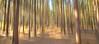 woods (markhortonphotography) Tags: intentionalcameramovement autumn surrey tree markhortonphotography woods surreyheath abstract blur thatmacroguy icm deepcut pinewoods verticalpanning