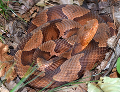 copperhead (ophis) Tags: viperidae agkistrodon agkistrodoncontortrix copperhead