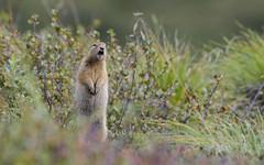 Ground Squirrel (carolinaaf14) Tags: groundsquirrel behavior animal fauna mammal denali alaska wildlife outdoors naturetownsedtennesseeusa