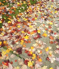 Fall in Vancouver. (France-) Tags: fall automne feuille leaf vancouver sidewalk trottoir canada couleurs octobre october nature smartphone