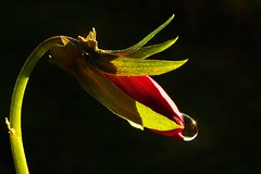 Viola Drop..x (lisa@lethen) Tags: viola flower droplet water nature macro morning light
