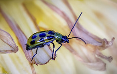 ONE OF NATURES SMALL WONDERS (allentimothy1947) Tags: photography timothysallen spotted cucumber beetle bug insect nature diabrotica undecimpunctata ringlight lutherburbankgardens
