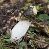 IMGP5502 (parallax.) Tags: stinkhorn fungi nature decay
