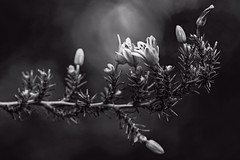 Light Within (brev99) Tags: tamron180f35 d7100 branch flowers bokeh topazclarity nikviveza photoshopelements12 straighten blackandwhite perfecteffects10 ononesoftware