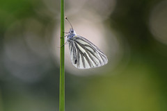 D71_7313A (vkalivoda) Tags: motl butterfly schmetterling insect macro depthoffield bokeh serene makro blsek white mlynrik blanquetaperfumada gronaretkalsommerfugl rapsweissling naeriliblikas greenveinedwhite blancaverdinervada piridedunavet crnoilibijelac lanavoncella grietinisbaltukas repcelepke kleingeaderdwitje rapssommerfugl bielinekbytomkowiec mlynrikrepkov repinibelin iliastikupusar lanttuperhonen rapsfjril