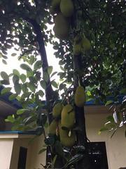 (adlaw) Tags: jackfruit