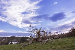 LA CAIDA DEL VIEJO ARBOL (lourdestorreira) Tags: arbol viejo centenario caidadearbol paisaje pueblos lugo orbazai cielo casa aldea galicia