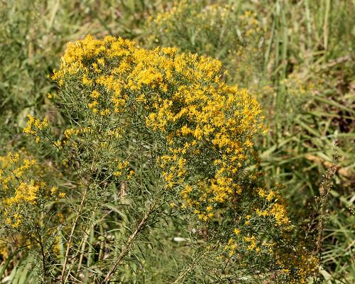 Flattop Goldenrod (Euthamia caroliniana)