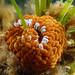 Swimming anemone - Phlyctenactis tuberculosa