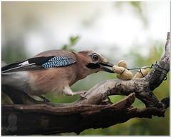 come on nuts... (Tonisturn) Tags: eurasianjay gardenbird jay nature jaycloseup peanutinmouth peanuts tonisturn