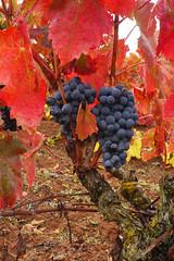 Vines, Chateau de Serres (Niall Corbet) Tags: france languedoc roussillon occitanie chateaudeserres serres vine vineyard vignoble autumn grape black grainderaisin aude red leaf