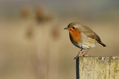 Robin (Erithacus rubecula) (Fly~catcher) Tags: erithacus rubecula north cave wetlands robin