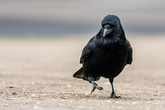 Carrion Crow     Rabenkrhe (Natural Photography by CJH) Tags: carrion crow carrioncrow rabenkrhe krhe raben black bird vogel natural wildlife nature wild nikon d500 telephoto 300mm pf f4 300mmf4 300f4 nikkor pfedvr tc14eiii luxembourg river water