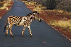 Zebra Crossing (Olly Hancock Photography) Tags: zebra rossing animals africa south stripy crossing road animal safari wildlife nature