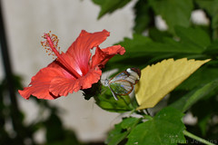 Red Flower and Glasswinged Butterfly (Bri_J) Tags: tropicalbutterflyhouse northanston sheffield southyorkshire uk butterflyhouse yorkshire nikon d7200 red flower butterfly glasswingedbutterfly gretaoto