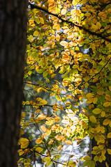 Herbst (Andreas Issleib) Tags: wulksfelde pflanze umwelt naturlandschaft herbstlaub laub outdoor canonef70200mmf28lisiiusm canoneos5dmarkiii jahreszeiten zweig fotografie location bäumeundsträucher alster laubbäume herbst buche bã¤umeundstrã¤ucher laubbã¤ume tangstedt schleswigholstein deutschland de
