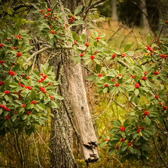 Winterberry (hickamorehackamore) Tags: 2016 cornelllabofornithology ilex ithaca ny nystate newyork newyorkstate sapsuckerpond september winterberry berries deciduous holly native