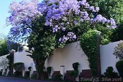 South Africa--Johannesburg 135 (REBlue) Tags: southafrica johannesburg soweto jacarandatree