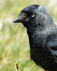 Juist Dohle (lomix-logo) Tags: dohle blueeyes blue eyes rabe rabenvogel juist federn schwarz jackdaw