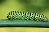 Lagarta da borboleta-cauda-de-andorinha (Papilio machaon) (Zéza Lemos) Tags: papiliomachaon lagartas borboleta borboletas butterflies mariposa mariposas insetos natureza natur funcho horta plantas jardim portugal algarve vilamoura caudadeandorinha