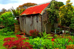 I'm seeing RED in my GARDEN......HFF !!!!! (Lani Elliott) Tags: happyfencefriday shed weathered historic applepickershut hut gardens homegarden fence rustic sheepshearingshed circa1889