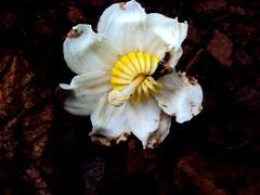Flor de goiaba-de-anta (Bellucia grossularioides (L.) Triana.) Famlia: Melastomataceae (leovigildo Santos) Tags: flor flower wildflower wild silvestre sylvan white yellow savannah gois brasil minau cerrado rainforest tropical mataciliar biodiversidade biodiversity