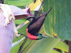 Scarlet-Chested Sunbird (Makgobokgobo) Tags: scarletchestedsunbird sunbird bird garuga entebbe uganda africa chalcomitrasenegalensis chalcomitra