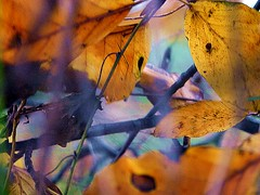 2016-11-21 autumn leaves (april-mo) Tags: autumn automne fall autumnleaves deadleaves feuillesmortes blur blurred