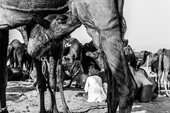Motherhood | Pushkar camel fair,Rajasthan. (vjisin) Tags: pushkar rajasthan india iamnikon nikond3200 asia camel street indianstreetphotography incredibleindia indianheritage travelphotography pushkarcamelfair monochrome blackandwhite inexplore outdoor sport animal travel nikon nikonofficial white background