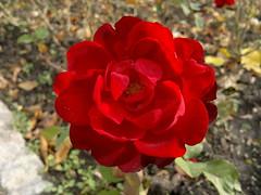 2016-10-25-7377 (vale 83) Tags: rose nokia n8 macrodreams friends lunaphoto autofocus colourartaward coloursplosion