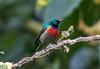 Northern Double-collared Sunbird (Laura Erickson) Tags: africa nectariniidae birds northerndoublecollaredsunbird uganda passeriformes species places volcanoesgahingasafarilodge cinnyrisreichenowi