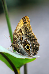 Caligo (thingsfrompanama) Tags: panama elvalle cocle mariposas butterflies insectos insects animales animals caligo
