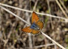 Canary Blue Butterfly ( female )-----Cyclyrius webbianus (creaturesnapper) Tags: butterflies lycaenidae tenerife europe canaryblue cyclyriuswebbianus