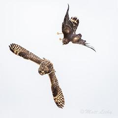 It's On! (mLichy911) Tags: shorteared owl harrier northern flight fight action bif wild wildlife nature pnw wa seattle winter 7dmarkii 500f4 canon raptor bird fast owls hawk