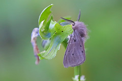 Muslin Moth, Shipham, Somerset, England (Terathopius) Tags: shipham somerset england unitedkingdom uk greatbritain gb muslinmoth diaphoramendica erebidae arctiinae