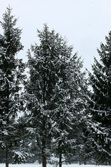 December 5th, 2016 Snow 011 (Chrisser) Tags: weather snow trees spruce nature ontario canada canoneosrebelt1i canonefs60mmf28macrousmprimelens lens00025 digital
