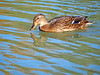 Hembra de Azulón (Anas platyrhynchos) (4) (eb3alfmiguel) Tags: aves acuaticas anade azulon hembra