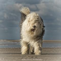 Sophie (dewollewei) Tags: sophie sophieandsarah sophieensarah oldenglishsheepdog oldenglishsheepdogs old english sheepdog sheepdogs dewollewei oes bobtail beach canon canon7dmark2