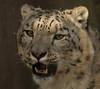 snowleopard Krefeld JN6A1428 (j.a.kok) Tags: irbis snowleopard sneeuwluipaard sneeuwpanter krefeld azie asia himalaya predator mammal zoogdier cat kat