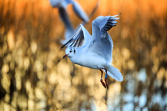 tokyo seagull UENO03 (sunuq) Tags: eos 5dsr ef70300mmf4556doisusm ef70300mm japan 東京 上野公園 不忍池 カモメ 鴎 seagull 都鳥 ユリカモメ