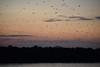 Flying Foxes at Sunset leaving Kalong Island (Andreas' Photos) Tags: indonesia labuanbajo flores kalongisland flyingfox