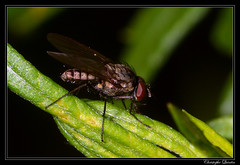 Delia platura mâle (cquintin) Tags: arthropoda diptera anthomyiidae delia platura